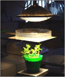 Planta guisante sometida a estrés por iluminación